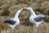 Albatros royal du Sud à l'ile Campbell